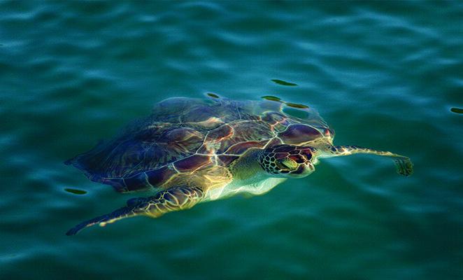 antigua turtle pp